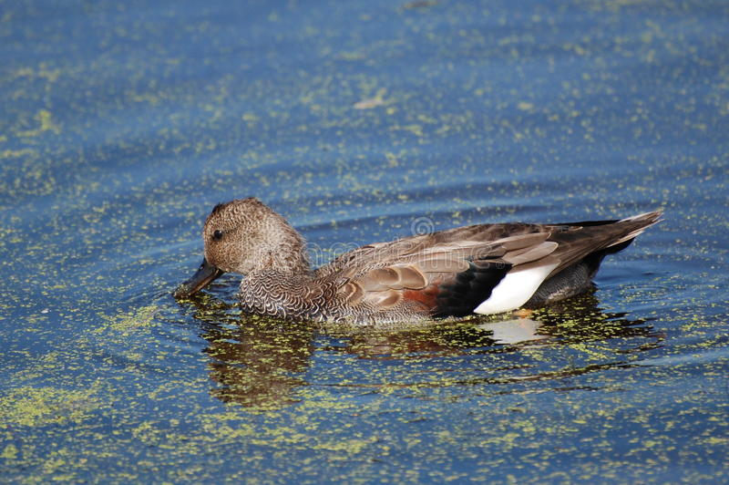 Gadwall Duck in pond with duckweed. A gadwall duck browsing on surface plants royalty free stock photos