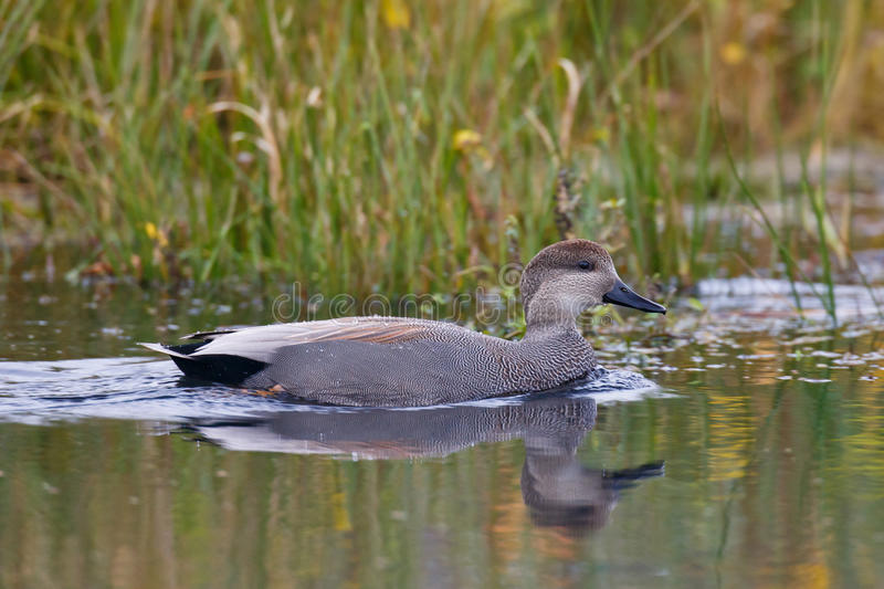 Gadwall Duck royalty free stock images