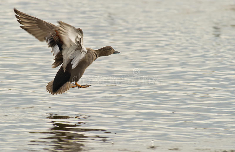 A Gadwall landing on water royalty free stock image