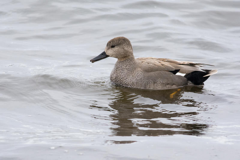Gadwall. Male Gadwall in non-breeding plumage stock images