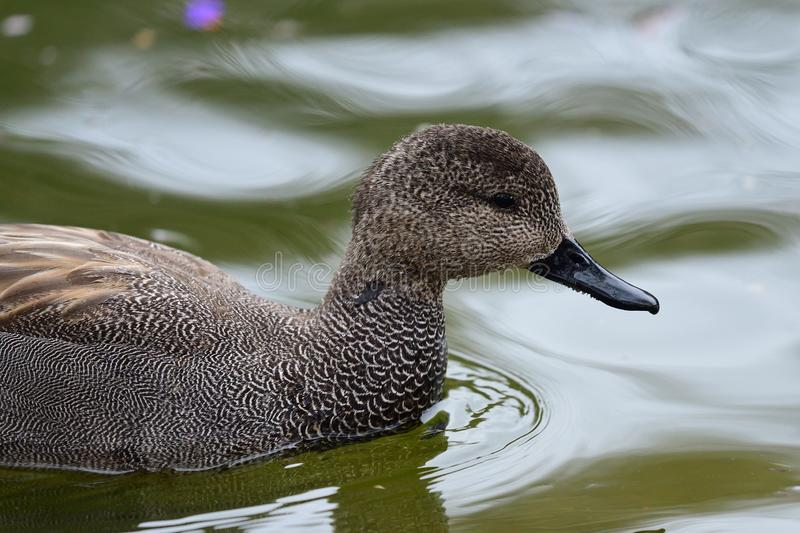 Gadwall mareca strepera. Close up of a gadwall mareca strepera swimming in the water stock photography