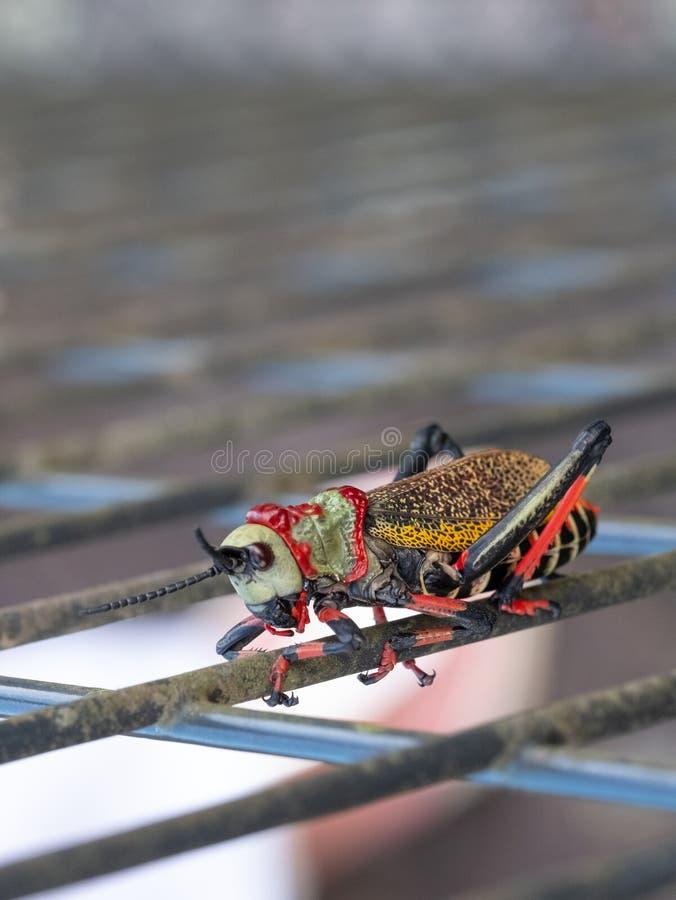 Gafanhoto da espuma de Koppie Gafanhoto/locustídeo coloridos fotografados na garganta do rio de Blyde, África do Sul fotografia de stock royalty free