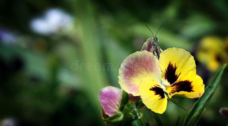 Gafanhoto na flor da viola Tricolor fotografia de stock royalty free