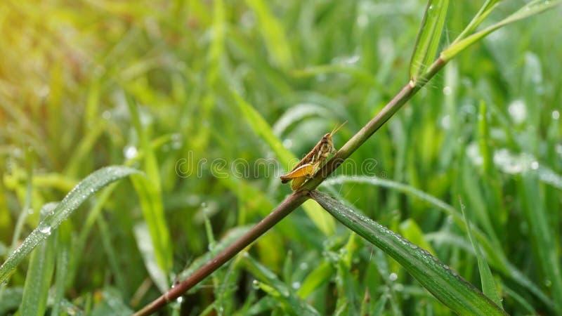Gafanhoto pequeno na folha da grama na manhã fotografia de stock royalty free