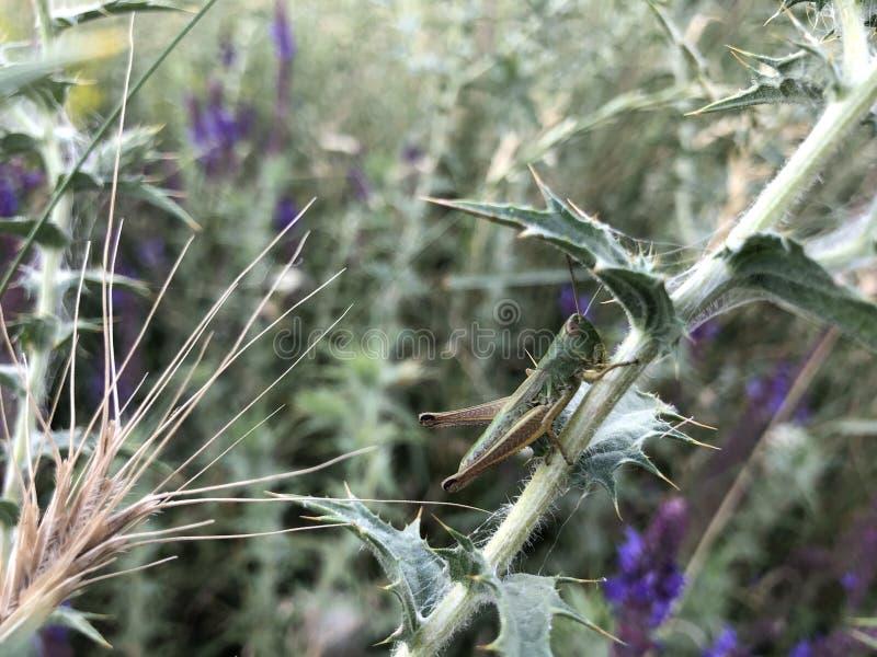Gafanhoto que senta-se em uma lâmina de grama mal visível no campo verde fotografia de stock royalty free