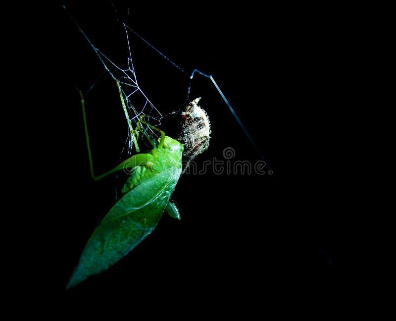 Gafanhoto travado em uma Web de aranha imagens de stock