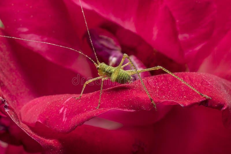 Gafanhoto verde pequeno nas pétalas de uma rosa Ascendente pr?ximo do detalhe Fotografia macro fotos de stock royalty free