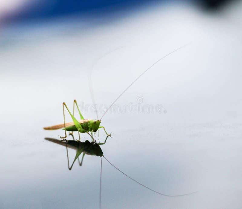 Gafanhoto verde que senta-se em uma superfície da água imagem de stock royalty free