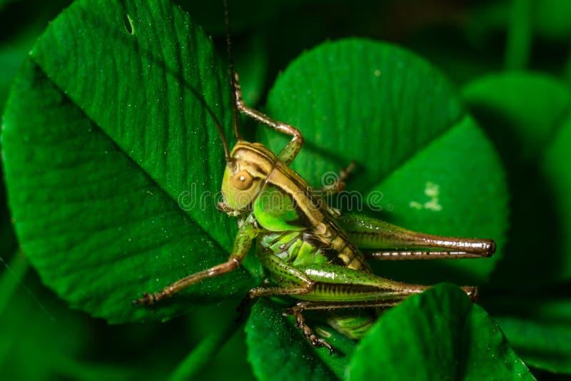Gafanhoto verde que senta-se no fim extremo da folha da grama acima foto de stock