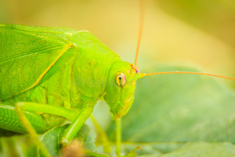 Gafanhotos Longo-horned bonitos, ou Tettigoniidae, ou leafhopper p fotos de stock royalty free