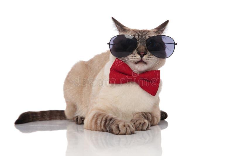 Gafas de sol que llevan del gato gris lindo de los metis y bowtie rojo imagenes de archivo