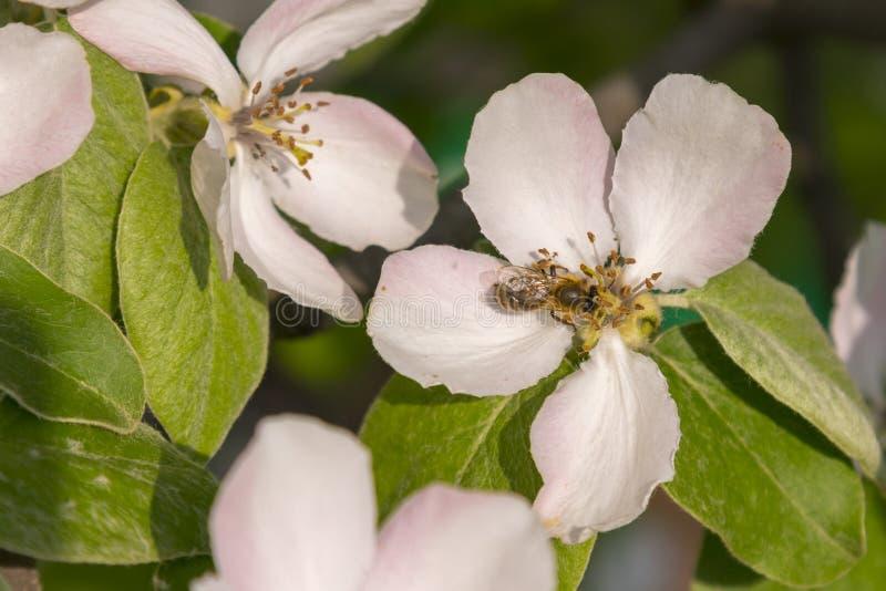 gaffez ?troitement l'abeille sur le fond rose de pollen de fleur de cosmos, insecte en ?t? Gaffez l'abeille sur la fleur rose lum image libre de droits