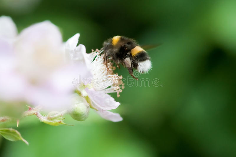 Gaffez l'abeille images stock