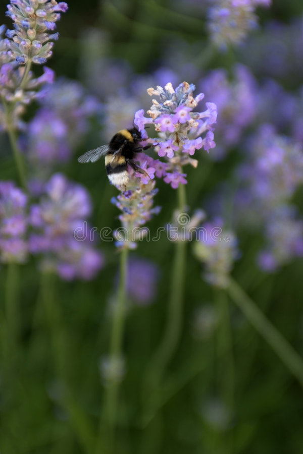 Gaffez l'abeille image stock