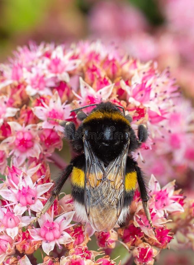 Gaffez l'abeille du plan rapproché sur la fleur images stock
