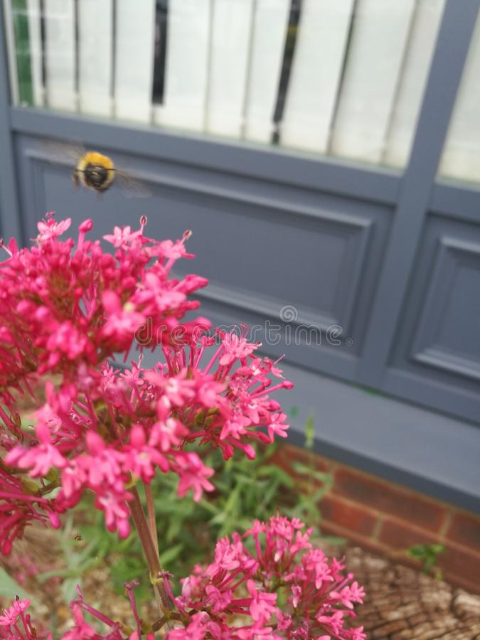 Gaffez l'abeille en vol images stock