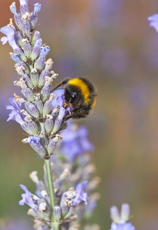 Gaffez l'abeille et la lavande photographie stock libre de droits
