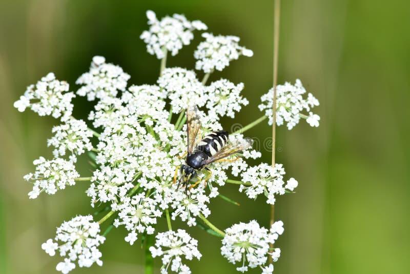 Gaffez l'abeille pollinisant sur un boneset blanc photos libres de droits