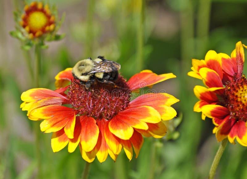 Gaffez l'abeille sur la fleur colorée rassemblant le pollen images libres de droits
