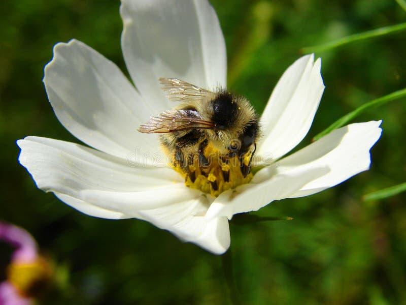 Gaffez l'abeille sur une fleur photo stock
