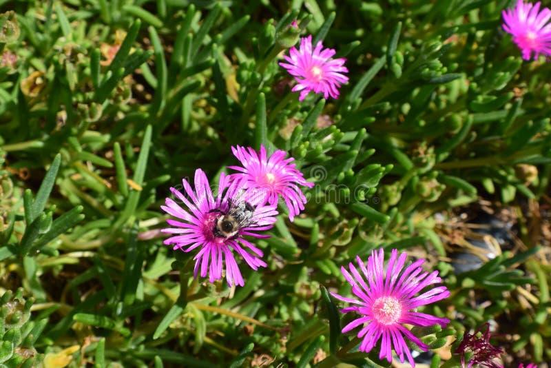 Gaffez l'admist d'abeille un champ des succulents verts images stock