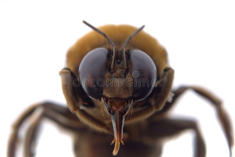 Gaffez l'instruction-macro de tête d'abeille photo libre de droits