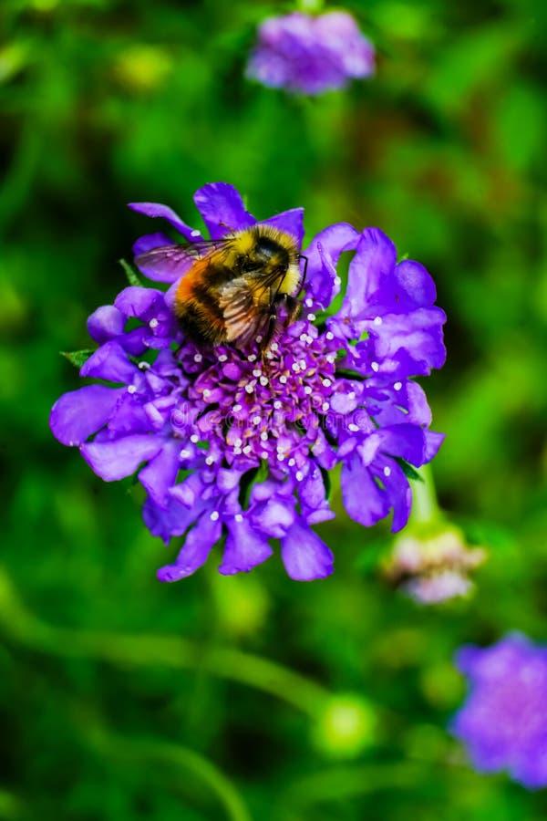 Gaffez la fleur bleue de Scabiosa de pelote à épingles d'abeille photos stock