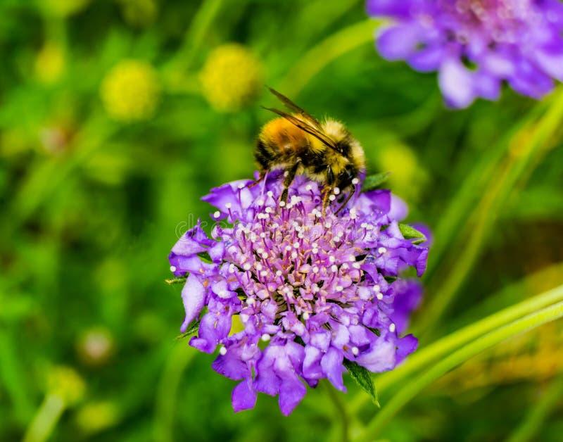 Gaffez la fleur bleue de Scabiosa de pelote à épingles d'abeille images stock