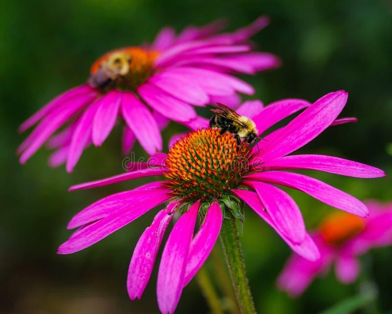 Gaffez la pollinisation d'abeille photos libres de droits