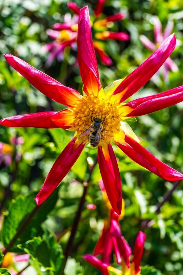 Gaffez le dahlia de fantaisie miniature jaune rouge-rose d'abeille photographie stock libre de droits