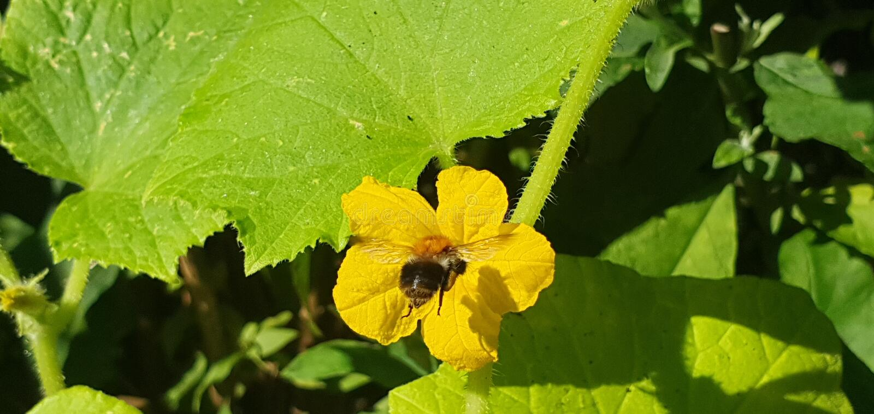 gaffez les mouches d'abeille à une fleur jaune de cumcumber photographie stock