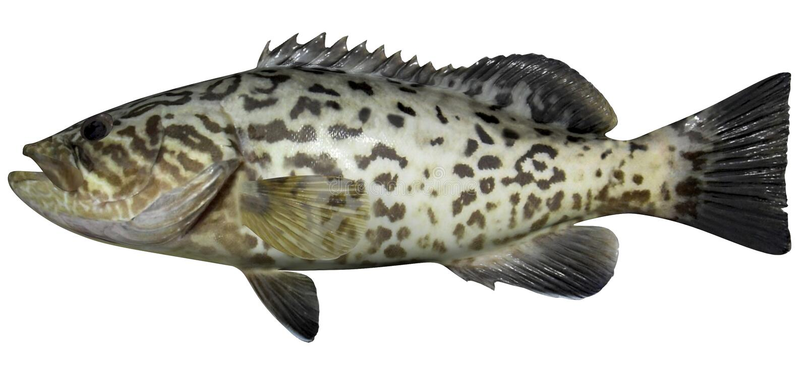 Gag Grouper. Fish isolated on white background stock photography