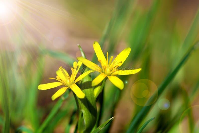 Gagea é flores da mola imagem de stock