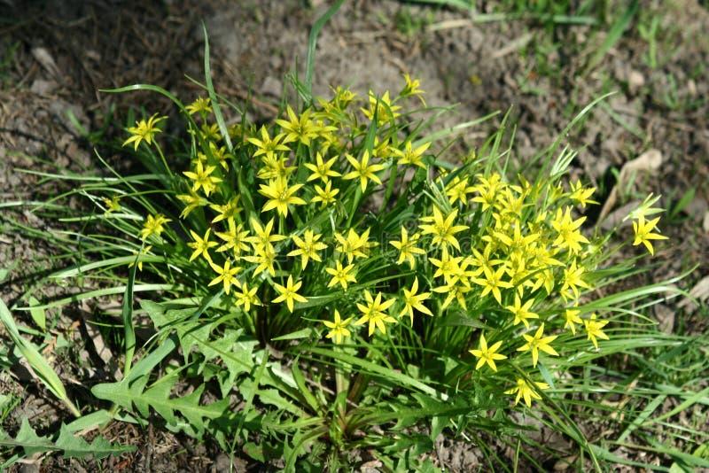 Gagea blommor royaltyfria foton