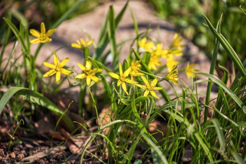 Gagea blommor royaltyfria bilder