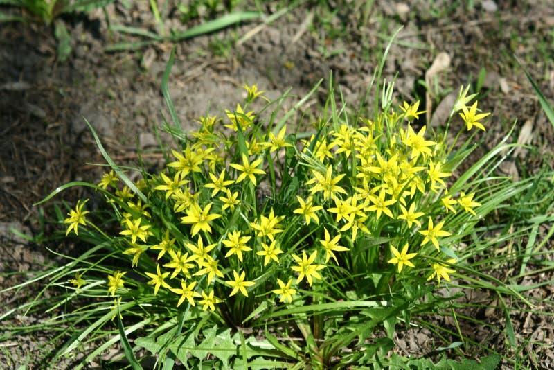 Gagea-Blumen stockfotografie