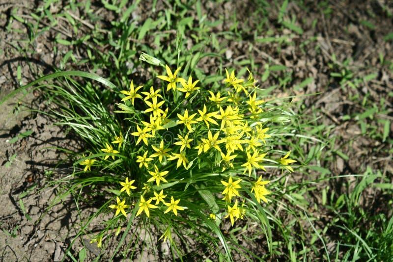 Gagea-Blumen lizenzfreie stockfotos