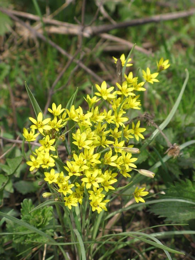 Gagea-Blumen stockbilder