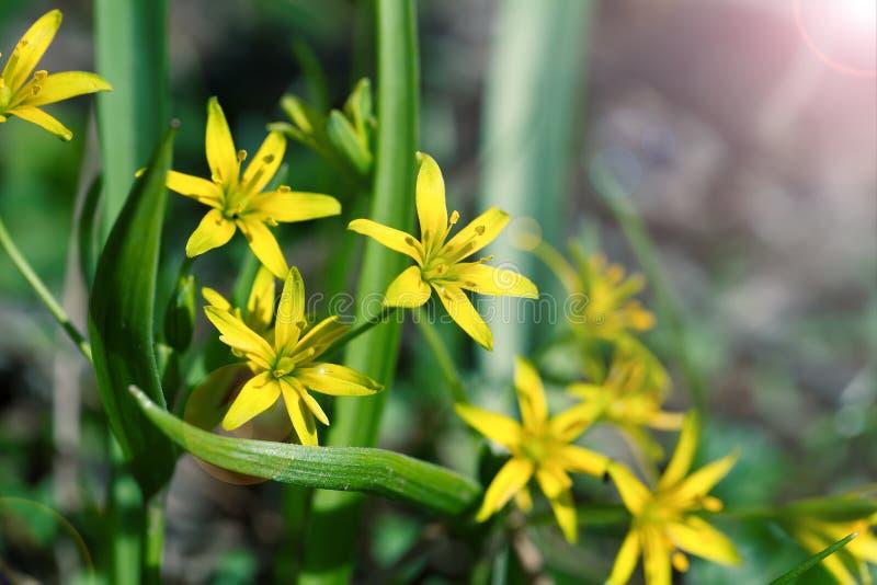 Gagea ist Frühlingsblumen stockfotos