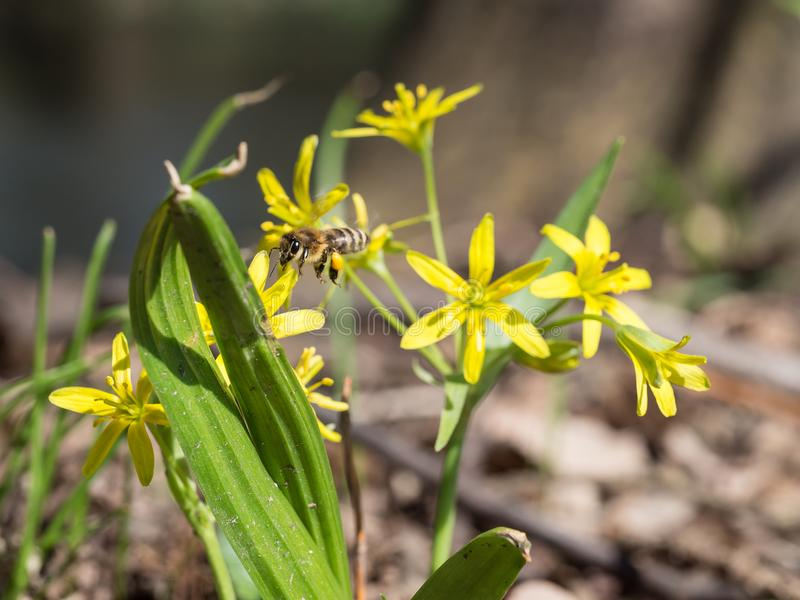 Gagea lutea, the Yellow Star-of-Bethlehem adn a bee collecting pollen. Gagea lutea, the Yellow Star-of-Bethlehem blooming in the spring and a bee collecting royalty free stock image