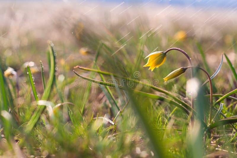 Gagea minimi ( Minst Gagea) - gula blommor som blommar på vårtid royaltyfri fotografi