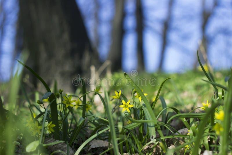 Gagea-Minimum wenig Gagea - frühe gelbe Blumen, die zur Frühlingszeit, Hintergrund blühen stockfotografie