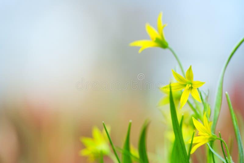 Gagea-Minimumblumen im Frühjahr lizenzfreies stockbild