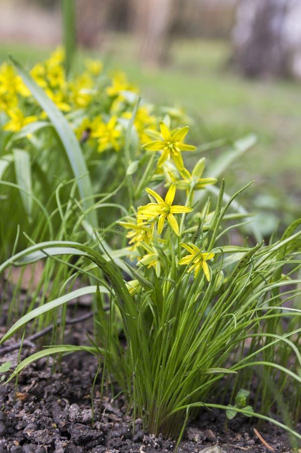 Gagea pratensis春天野花,伯利恒黄色星绽放的 库存照片