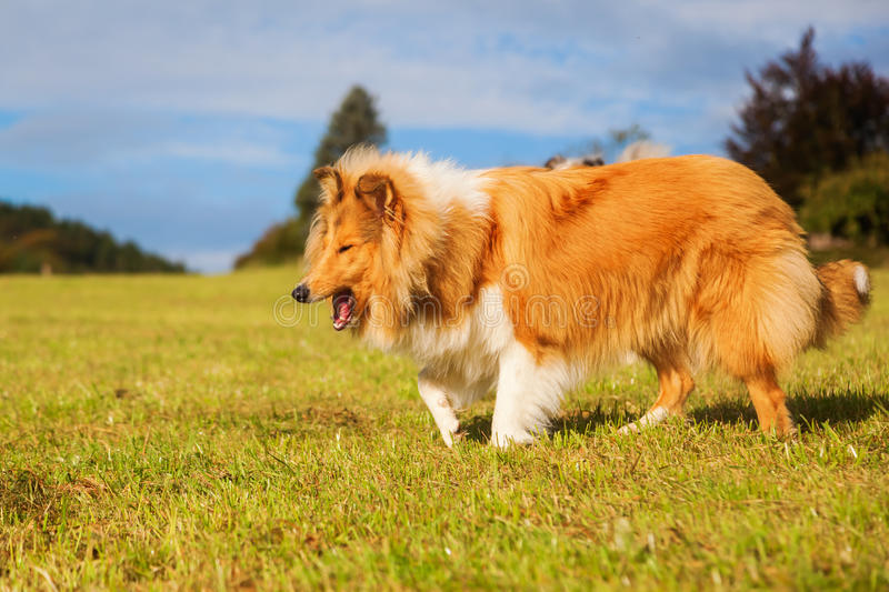 Gagging dog. Collie dog on a meadow is gagging sometwhat royalty free stock images