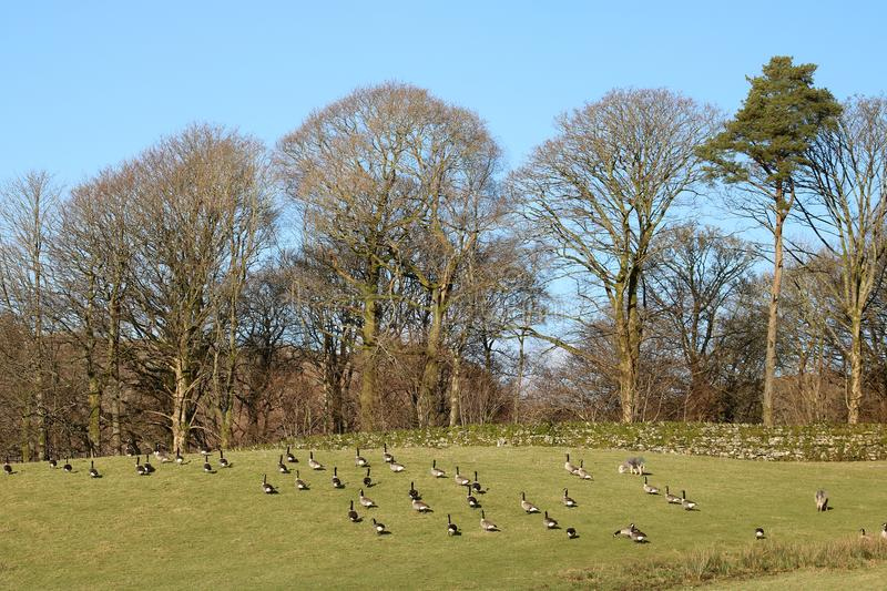 Gaggle of Canada geese in field, trees behind. stock images