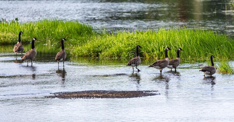 Gaggle of Canada geese getting ready for a swim. royalty free stock photography