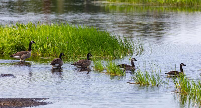 Gaggle of Canada geese getting ready for a swim. stock images