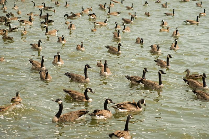 Canada geese swimming near the reservoir spillway. Gaggle of Canada geese swimming near the Pymatuning reservoir spillway in Western Pennsylvania, Sunny day stock photos