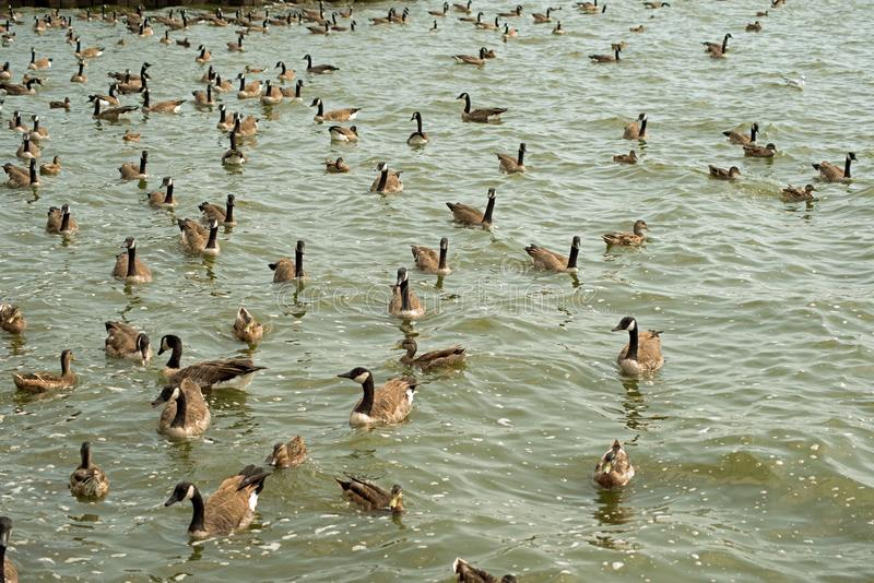 Canada geese swimming near the reservoir spillway. Gaggle of Canada geese swimming near the Pymatuning reservoir spillway in Western Pennsylvania, Sunny day royalty free stock image